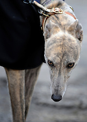 ©London News pictures. 17.02.2011. Cindy a retired greyhound.  Iwan Thomas joins the Retired Greyhound Trust (RGT) today (Thurs) at Wimbledon Stadium to highlight the plight of thousands of retired dogs needing homes. The trust currently has 1,000 dogs needing homes and a further 4,000 expected this year. The dogs only need two 20min walks a day Greyhound UK has teamed up with the RGT as its charity for the for the year. Picture Credit should read Stephen Simpson/LNP
