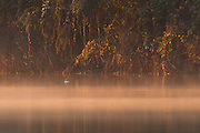 A male bufflehead (Bucephala albeola) watches the sunset light up the fog forming on the Snohomish River near Kenmore, Washington. The bufflehead is the smallest sea duck in North America.