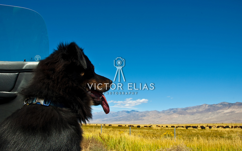 Dog staring. Bishop. California, USA.