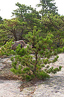 Pitch Pine (Pinus rigida), South Ridge trail, Cadillac Mountain, Acadia National Park, Maine, USA