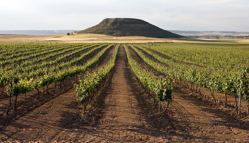 Ribera del Duero fields in June (Spain).<br /> <br /> Vi&ntilde;edos de los campos de Ribera del Duero en el mes de junio (Espa&ntilde;a).
