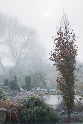 Sun trying to break through the fog on a cold morning by the pond in John Massey's garden. The columnar shape of Fagus sylvatica 'Dawyck' (Beech) in the foreground