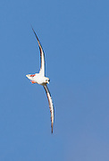 Red-footed Booby in flight, Kilauea Point, Kaua'i (vertical format)