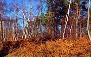 A293J2 Silver birch, bracken and conifer trees Suffolk Sandlings England