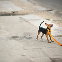 Cuba, Havana central, puppy, dog, pet