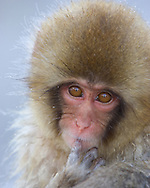 Baby Japanese Snow Monkey (Macaca fuscata) sucking his finger, Honshu, Japan..