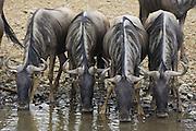 Wildebeest<br /> Connochaetes taurinus<br /> Drinking at water hole<br /> Maasai Mara Reserve, Kenya