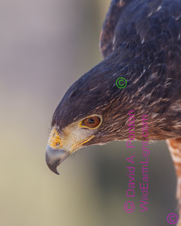 Harris's hawk  portrait,  © 2011David A. Ponton