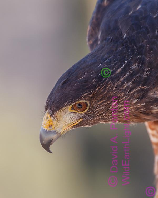 Harris's hawk  portrait,  © 2011David A. Ponton