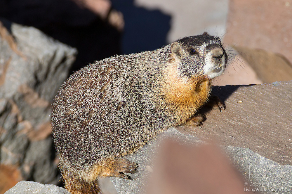 A Yellow-Bellied Marmot (Marmota flaviventris) rests on rocks along the rim of Crater Lake, Oregon. Yellow-Bellied Marmots form dens in large boulders and hibernate through the late fall and winter.