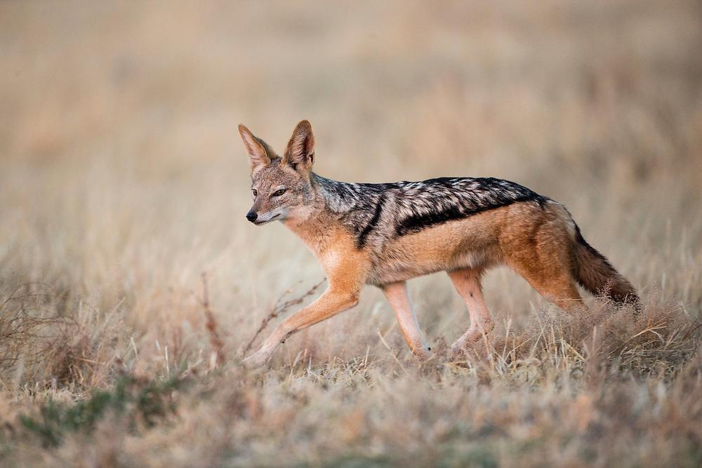 Africa, Botswana, Chobe National Park, Black-backed jackal (Canis mesomelas) walking through short grass in Savuti Marsh