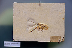 15.03.2016, Museum fuer Naturkunde, Berlin, GER, Naturkundemuseum Berlin, im Bild Versteinerung eines Langarm - Krebs, (Mecochirus longimanatus) // Exhibits in the Natural History Museum Museum fuer Naturkunde in Berlin, Germany on 2016/03/15. EXPA Pictures © 2016, PhotoCredit: EXPA/ Eibner-Pressefoto/ Schulz<br /> <br /> *****ATTENTION - OUT of GER*****