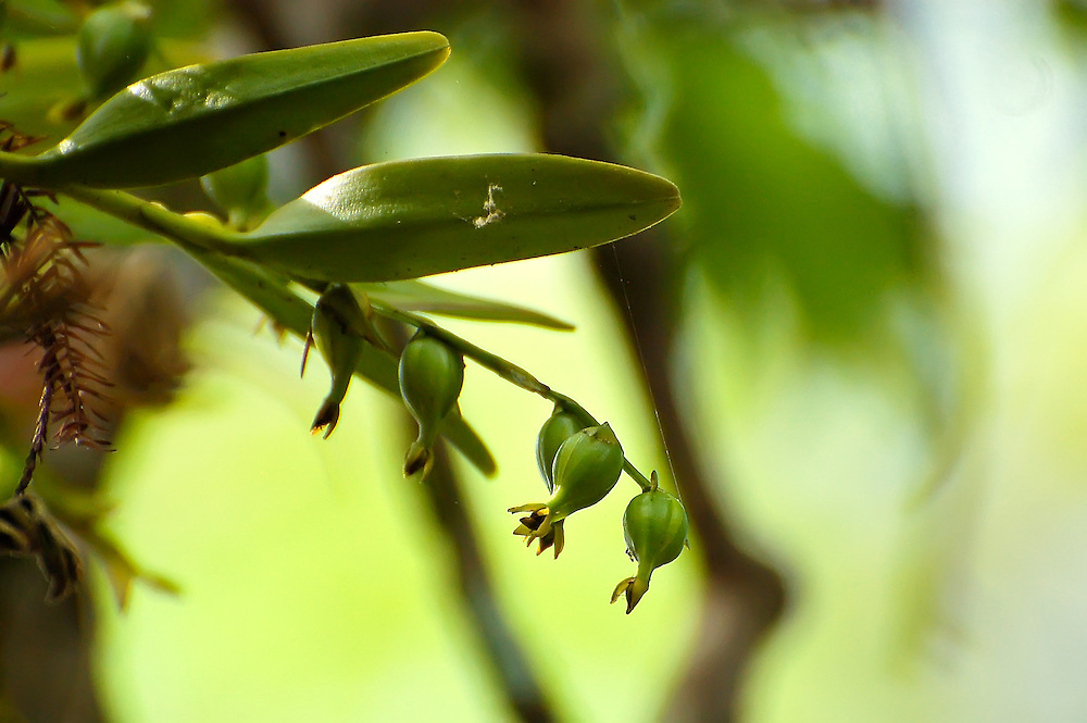 Close up of the fertilized flowers of the zig-zag orchid, or rigid epidendrum, photographed from the boardwalk in the Audubon Corkscrew Swamp Sanctuary in Naples, Fl.  These flowers have been self-fertilized and still retain the flower after the fruit is set.