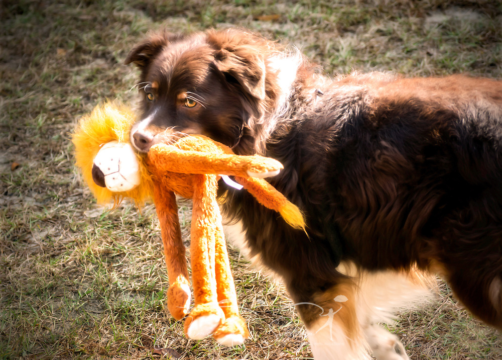 Cowboy, a six-year-old red tri Australian Shepherd, plays with a stuffed lion purchased at Love's Truck Stop in Clanton, Ala., Dec. 19, 2014. (Photo by Carmen K. Sisson/Cloudybright)