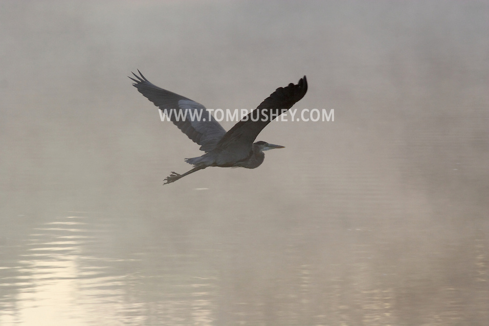 Hamptonburgh, N.Y. - A heron flies into the early morning mist over a pond at Thomas Bull Memorial Park in Hamptonburgh on Oct. 7, 2006.<br />