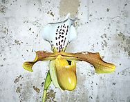 Flowering orchid in fromt of a white wall