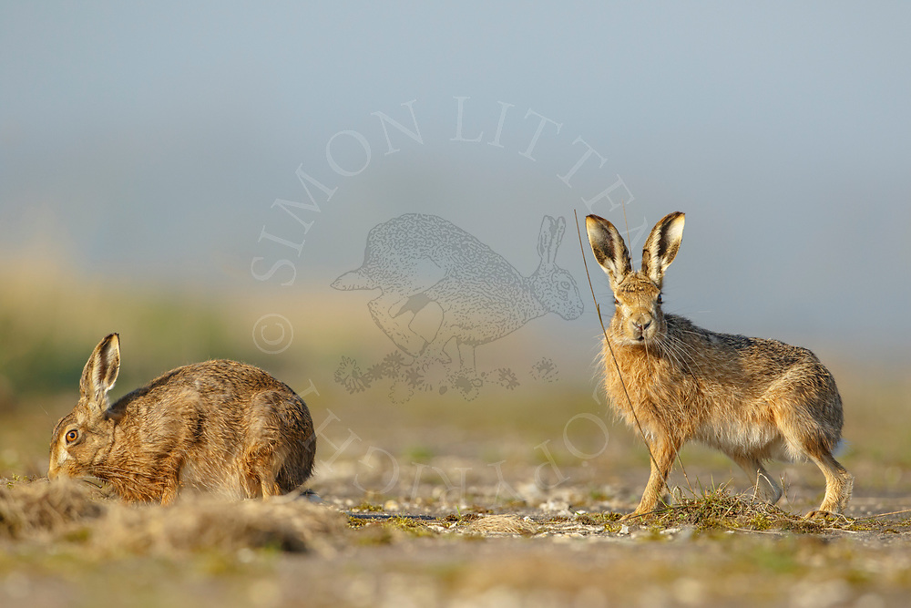 European Hare (Lepus europaeus) adult pair on farm track, South Norfolk, UK. April.