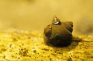 Underwater Scene-Zebra Mussels on snail shell<br /> <br /> ENGBRETSON UNDERWATER PHOTO