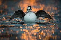 A female Long-tailed Duck streches her wings. Artificial light in the background. From Finnmark in northern Norway.