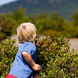 A boy picks blueberries on the north peak of Gap Mountain in Troy, New Hampshire. Society for the Protection of new Hampshire Forests' Gap Mountain Reservation.