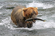 A Brown bear with a salmon it caught in the Brooks River, at Katmai National Park