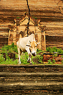 Cow grazing nearby Mingon temple at Mandalay