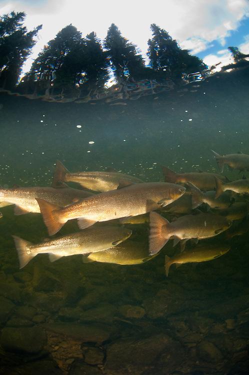 Saumon de l'Atlantique, Salmo salar, Atlantic salmon, saumons