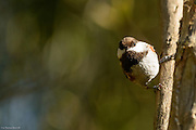 Chestnut-backed Chickadee hangs from a verticle branch.