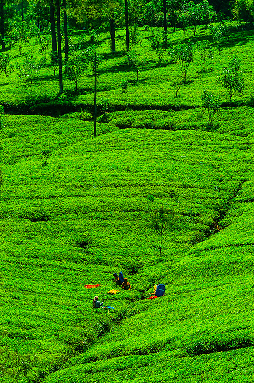Women picking tea, Hayleys Somerset Tea Estate, Radella, Nanu Oya (near Nuwara Eliya), Central Province, Sri Lanka.