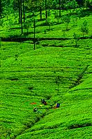 Women picking tea, Hayleys Somerset Tea Estate, Radella, Nanu Oya (near Nuwara Eliya), Central Province, Sri Lanka.