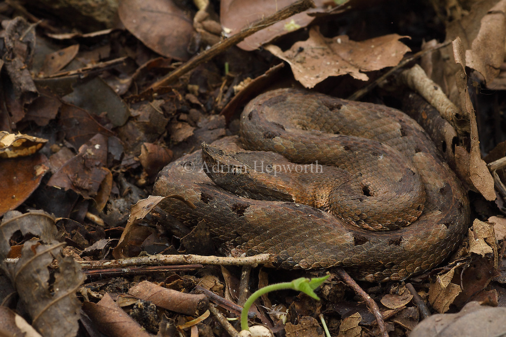 Hog-nosed Pit Viper (Porthidium nasutum) camouflaged on forest floor. Rainforest, La Selva Biological Station, Costa Rica. <br />