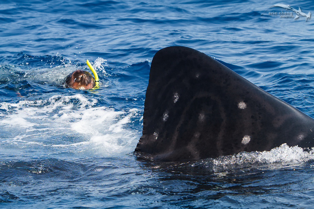 Underwater photographer Douglas Seifert snorkels with a whale shark (Rhincodon typus) off of Isla Mujeres, Mexico.