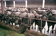The Vannulo cheese factory in Campania...Tenuta Vannulo..Azienda   Agricola Biologica Antonio Palmieri..Caseificio Vannulo..Buffaloes...http://www.vannulo.it/production.html........