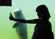 """QINHUANGDAO, CHINA - JUNE 13: (CHINA OUT) <br /> <br /> """"Say Cheese!""""<br /> A seal watches as a tourist takes photos with her smartphone at Ledao ocean park on June 13, 2013 in Qinhuangdao, Hebei Province of China. <br /> ©ChinaFoto/Exclusivepix"""