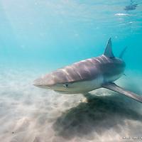 Dusky shark - Carcharhinus obscurus