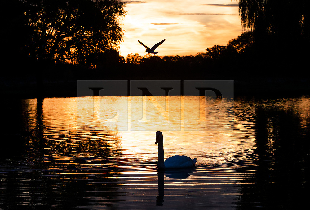 © Licensed to London News Pictures. 03/11/2018. London, UK. A swan and a gull in Heron Pond at sunrise in Bushy Park, south west London. The remains of hurricane Oscar are expected affect parts of the UK overnight bringing high winds and rain. Photo credit: Peter Macdiarmid/LNP