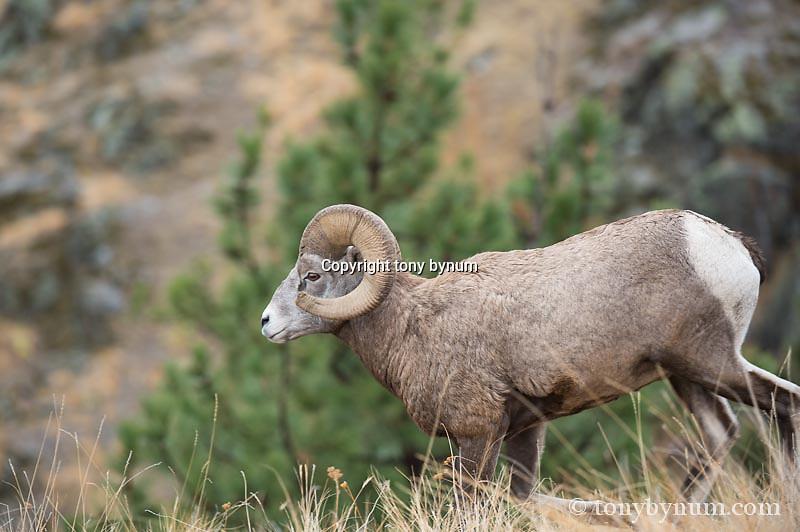 running bighorn sheep
