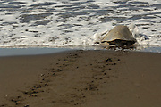 The olive ridley sea turtles (Lepidochelys olivacea)  are famous for their behaviour to nest also during the day. Their arribada (mass nesting event with several days of duration) only pauses during hot midday temperatures. After successfully nesting on the beach the adult female returns to the sea while the eggs are left behind to an open-ended fate. | Nach vollendeter Eiablage kriecht dieses Oliv-Bastardschildkröten-Weibchen (Lepidochelys olivacea) ins Meer zurück. Im Gegensatz zu den anderen Meeresschildkrötenarten ist das Nisten während der hellen Tagesstunden bei dieser recht kleinen Art (70 bis 80 Zentimeter Panzerlänge und 35 bis 60 Kilogramm Körpergewicht) üblich.
