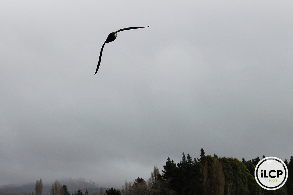 Northern Giant Petrel (Macronectes halli) flying near coast, Kaikoura, South Island, New Zealand