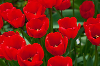 Switzerland. Springtime. Close-up of a field of red tulips - horiz.