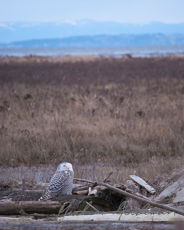 Snowy Owl. Boundary bay, Canada
