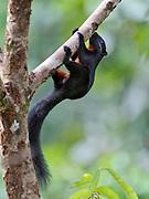 Borneo black-banded squirrel, Callosciurus orestes, from Sepilok, Sabah, Borneo.