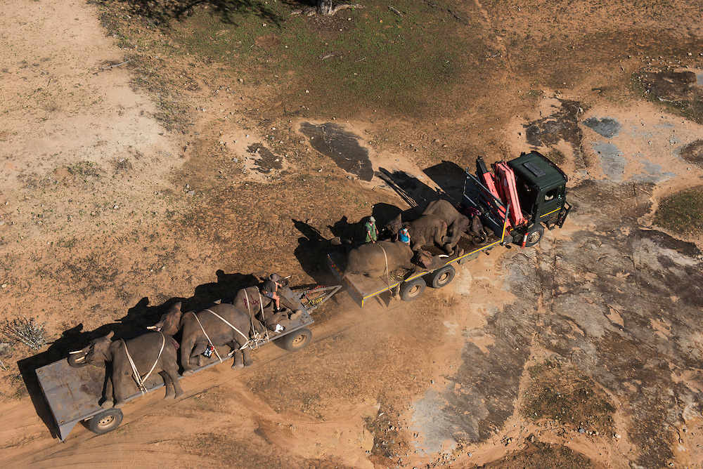 Tranquilized elephants on transporter truck<br />