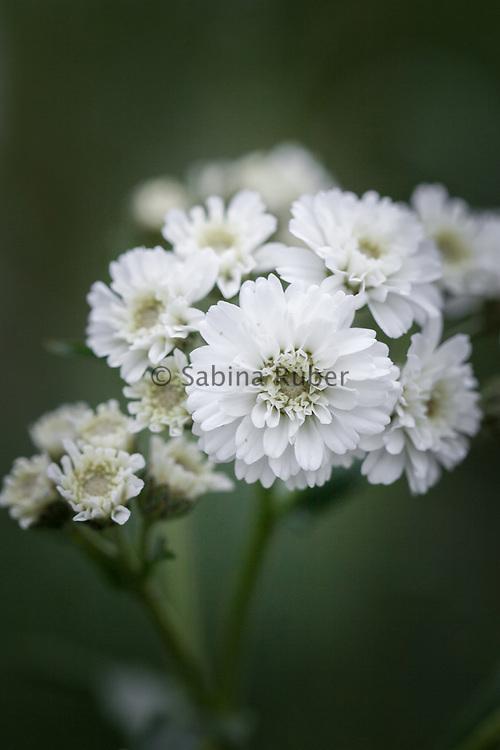 Achillea ptarmica 'The Pearl' - sneezewort
