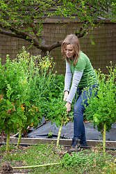Pulling up and clearing old curly kale plants that have bolted in the vegetable garden