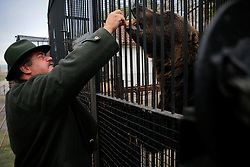 ROMANIA ONESTI 28OCT12 - The director of Onesti zoo feeds cake to a Eurasian brown bear in his cage. ..The zoo has been shut down due to non-adherence with EU regulations on the welfare of animals......jre/Photo by Jiri Rezac / WSPA.....© Jiri Rezac 2012