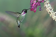 A Costa's Hummingbird (Calypte costae) visits a favored sage.