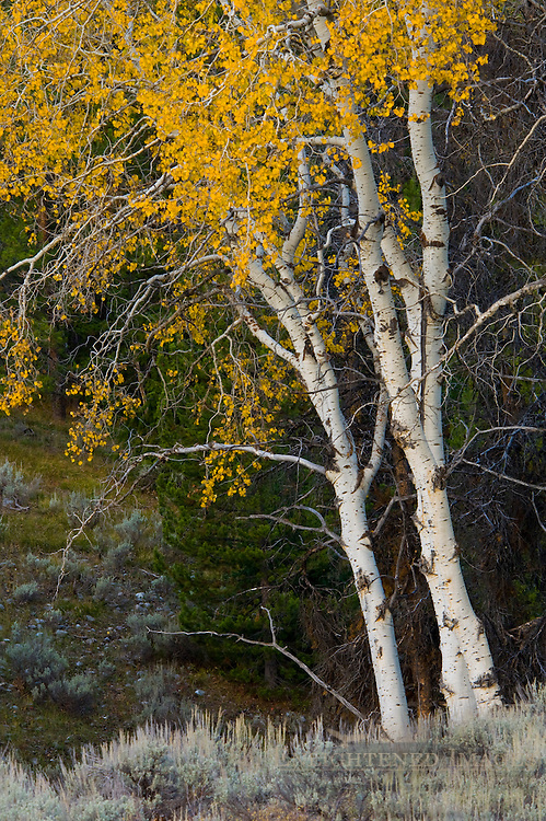 Aspen tree in fall, Grand Teton National Park, Wyoming