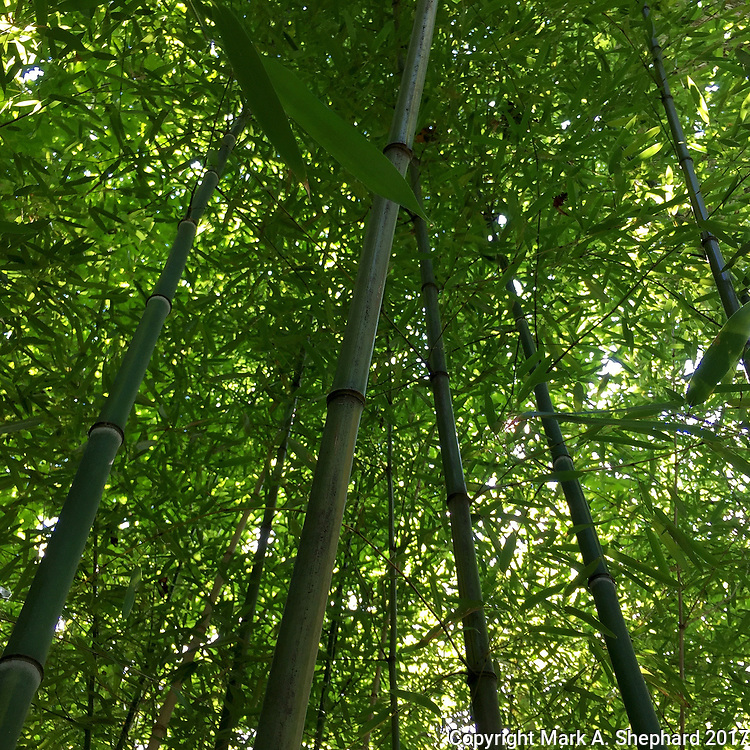 Golden bamboo, native to China and Japan, also grows at the WVU Core Arboretum in Morgantown, West Virginia. (iPhone 6 Plus photo by Mark A. Shephard)