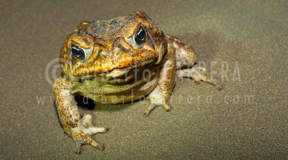 Alberto Carrera, Cane Toad, Giant Neotropical Toad, Marine Toad, Rhinella marina, Marino Ballena National Park, Uvita de Osa, Puntarenas, Costa Rica, Central America, America
